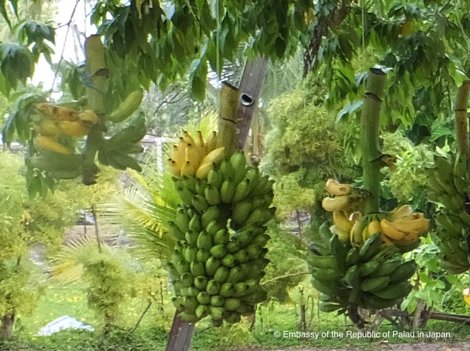 Kayangel - Banana